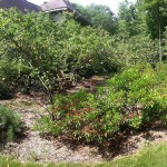 The amelanchier shade garden, with shade!